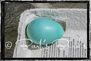 blue egg from a lavender Ameraucana pullet